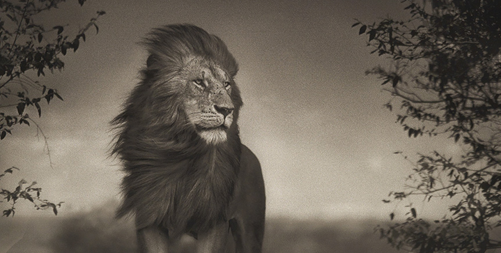 Our October 17 auction of Fine Photographs featured Nick Brandt's majestic Lion Before the Storm I, 2006, which sold for $35,000.