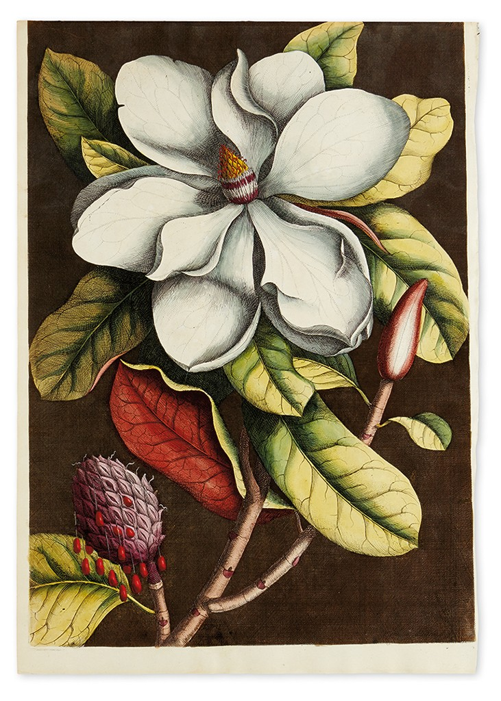 Lot 311: Mark Catesby & Georg Ehret, Magnolia Grandiflora, hand-colored engraving from Natural History of Carolina, London, 1731-43. Sold December 8, 2016 for $10,625.