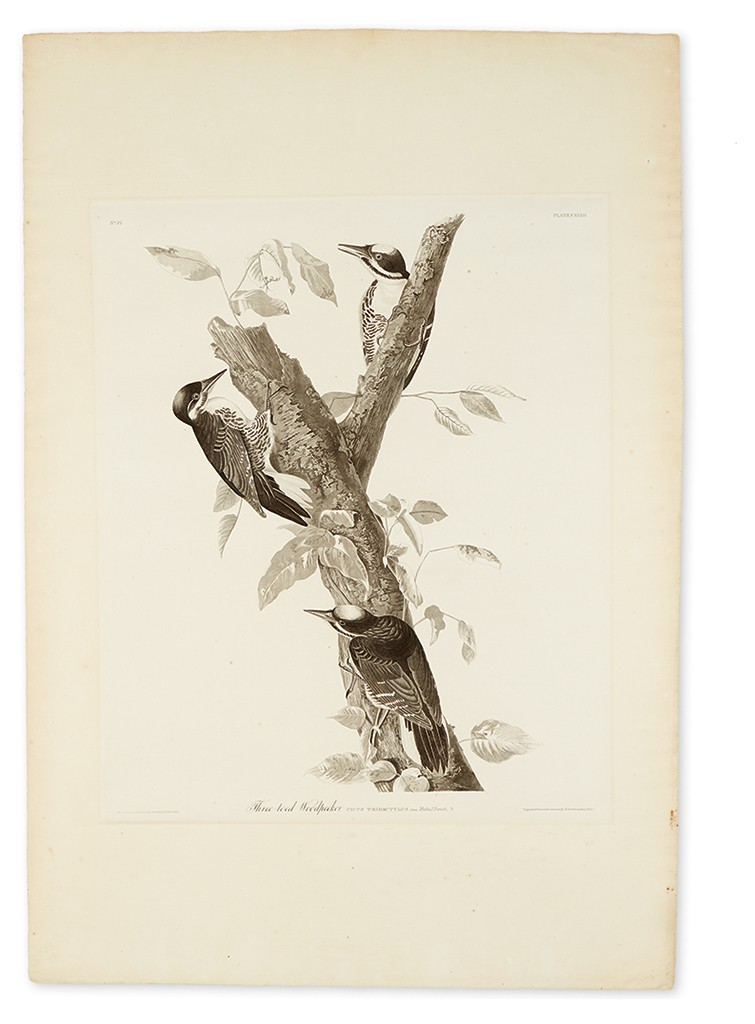 John James Audubon, Three-Toed Woodpecker, Plate CXXXII, uncolored aquatint and engraved plate, London, 1832. Estimate $3,000 to $5,000.