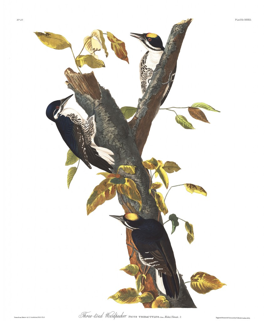 John James Audubon, Three-Toed Woodpecker. Courtesy Audubon.