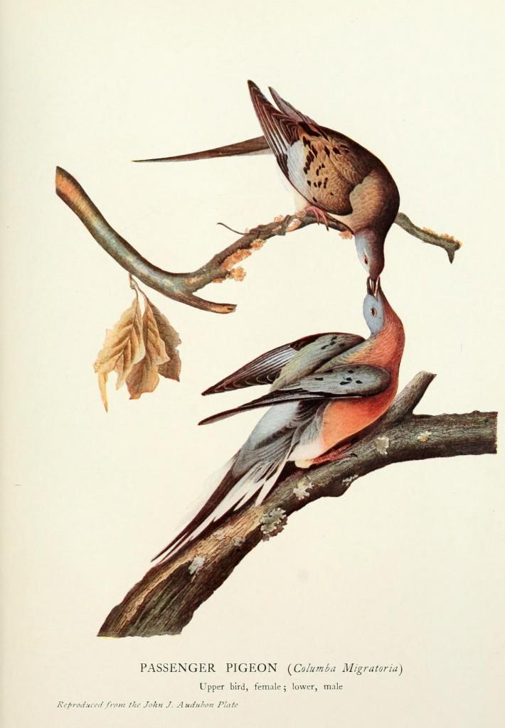John James Audubon, Passenger Pigeon. Courtesy Audubon.