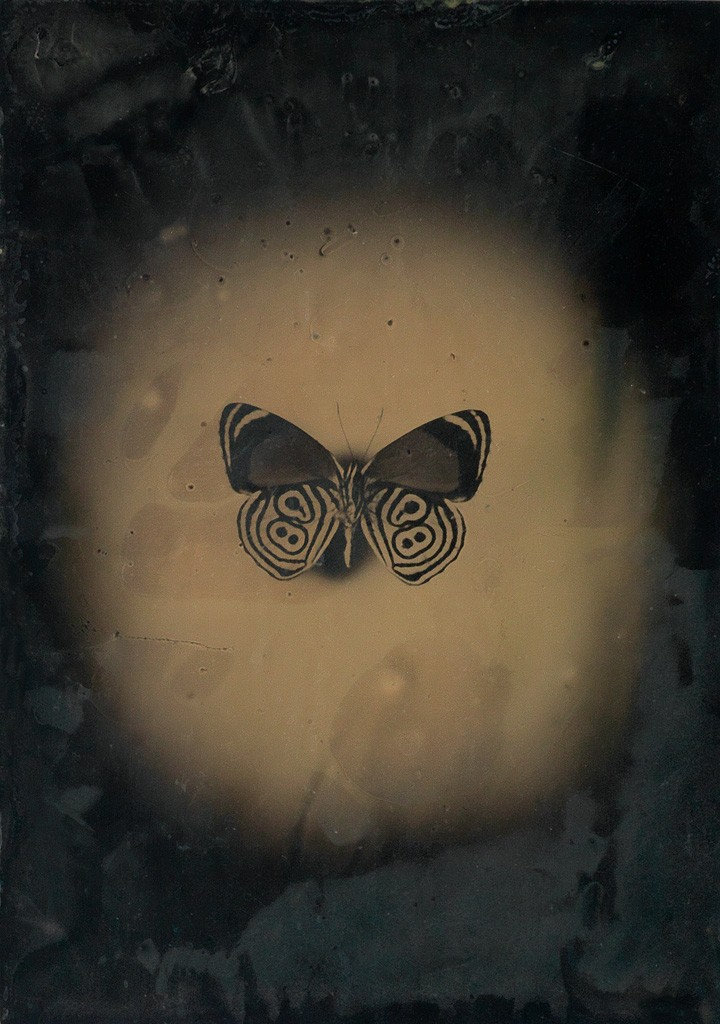 Lot 223: Jayne Hinds Bidaut, Butterfly, Peru (Diaethria ethusa), tintype, 2001. Estimate $600 to $900.