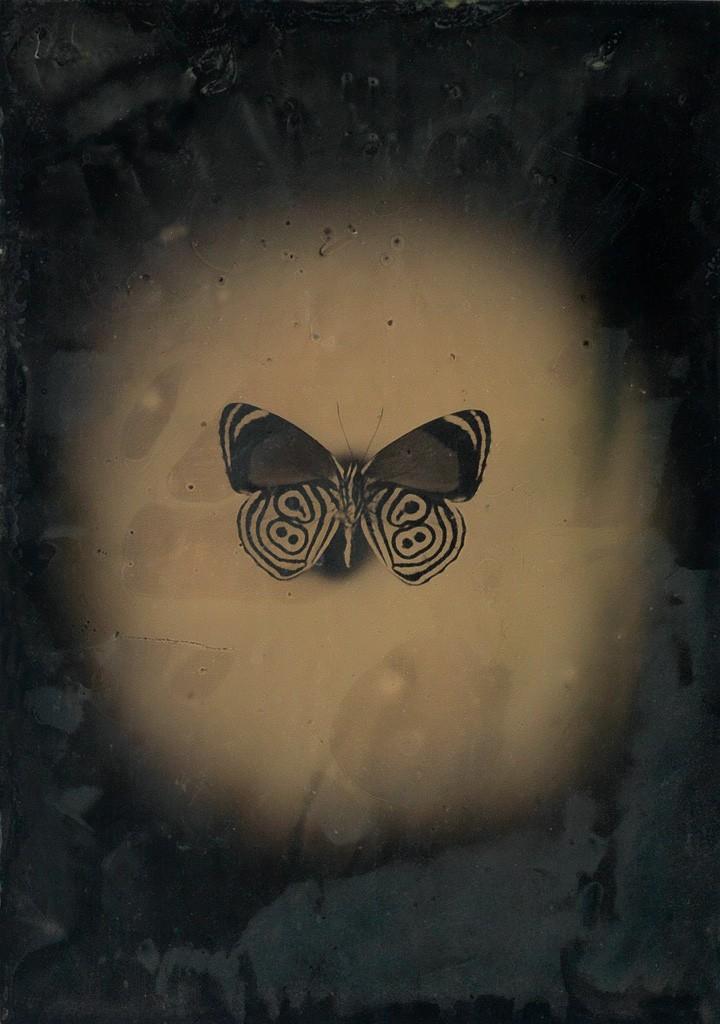 Lot 223: Jayne Hinds Bidaut, Butterfly, Peru (Diaethria ethusa), tintype, 2001. Estimate $600 to $900.
