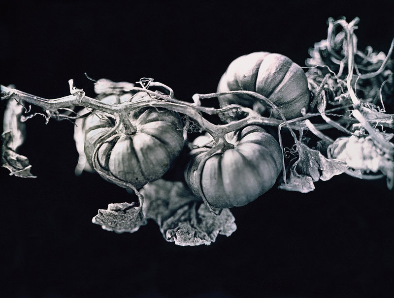 Jerry Spagnoli, Jack-Be-Little Squash, daguerreotype, 2000-15. From Heirloom Harvest.