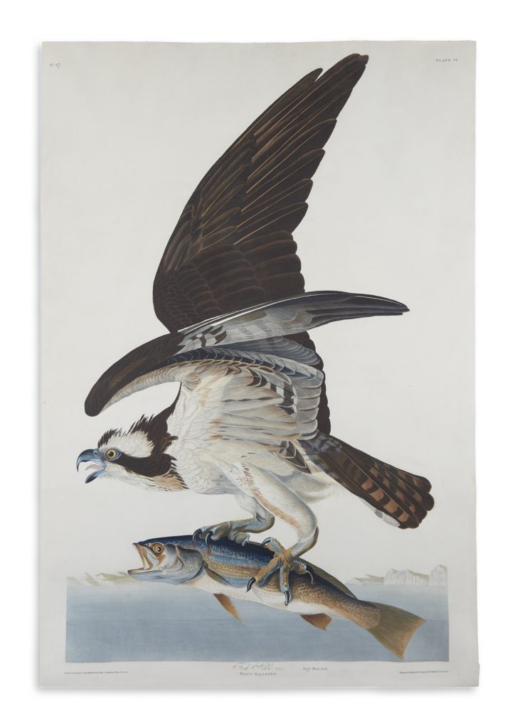 John James Audubon's aquatint and engraved plate of a fish hawk mid plucking a fish from the water.