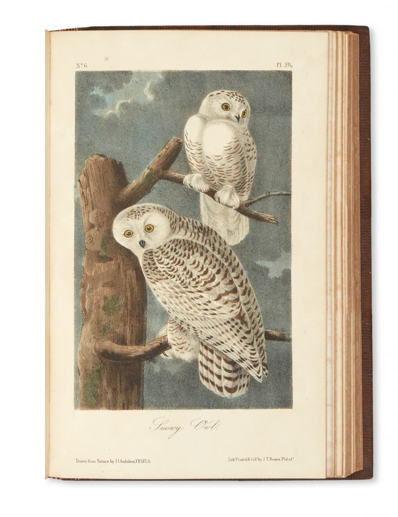 An image of two snowy owls in John James Audubon's The Birds of America.