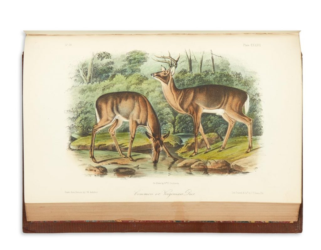 An image of two Common Doe from John James Audubon's The Quadrupeds of North America