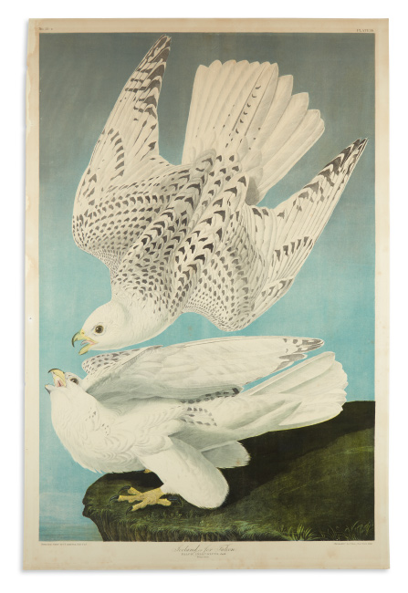 John James Audubon, Iceland or Jer Falcon, chromolithograph, New York, 1860.