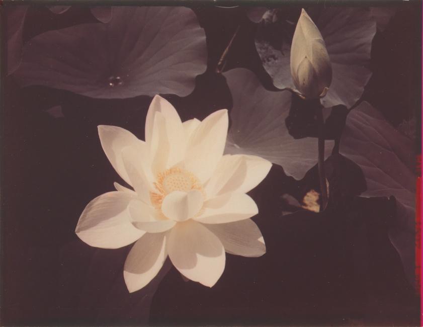 Edward Steichen, White Lotus, dye transfer print, 1939, printed 1940.