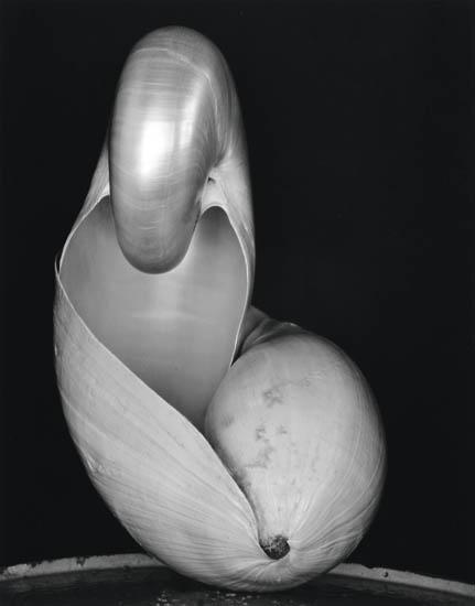Edward & Cole Weston, Shell, silver print, 1931, printed 1970s.