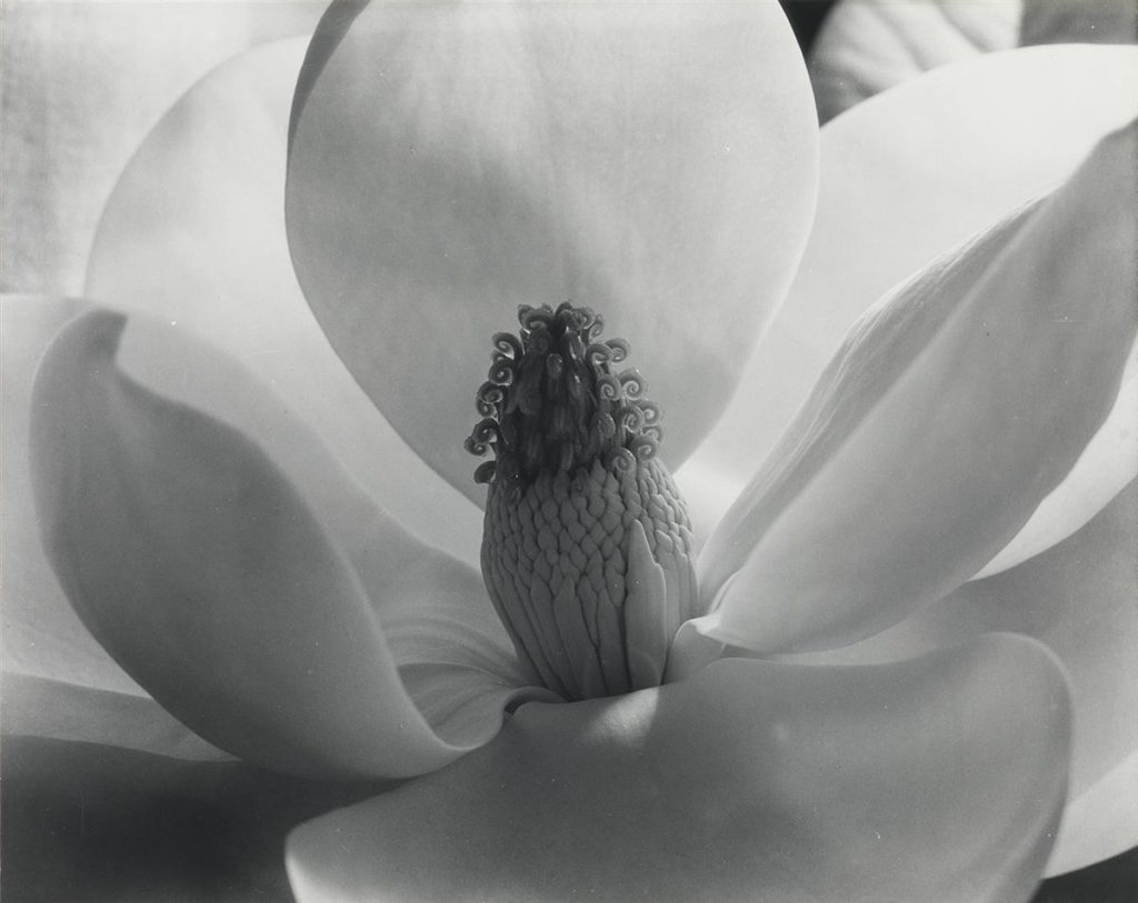 Imogen Cunningham, Magnolia Blossom, silver print, 1925, printed circa 1970.